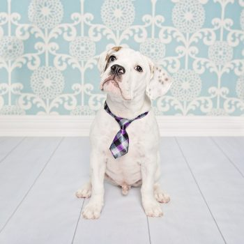 Pet-Photography-Kansas-City-dog-neck-tie