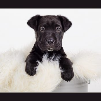 Pet-Photography-Kansas-City-dog-puppy-studio