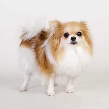 Pet-Photography-Kansas-City-dog-pomeranian-studio