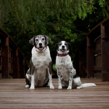 Pet-Photography-Kansas-City-dogs-on-bridge