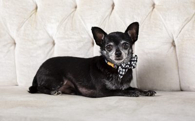 Kansas City Pet Photography-chihuahua-bow-tie